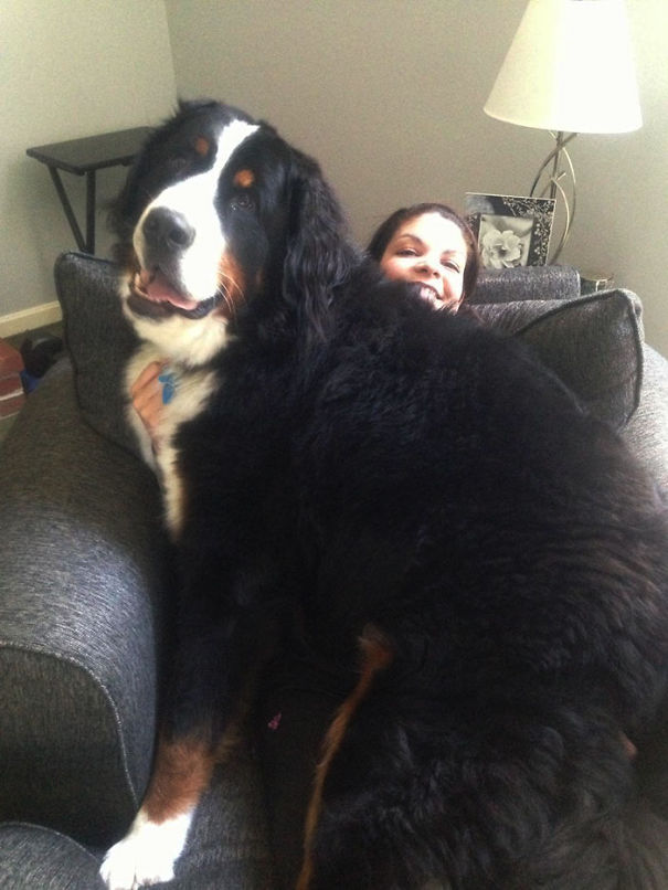 Dogs Who Don't Understand How BIG They Are