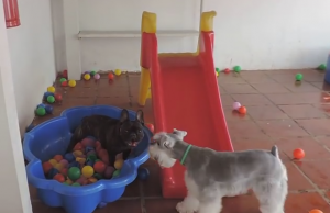 French Bulldog lost his mind with ball pit