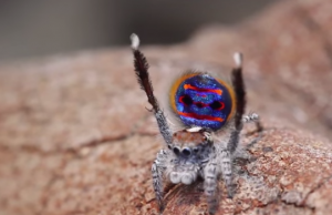 Peacock Spider Dances to YMCA